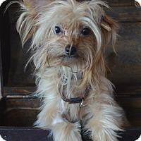 Adopt A Pet :: Cinnamon-ADOPTION PENDING - Bridgeton, MO