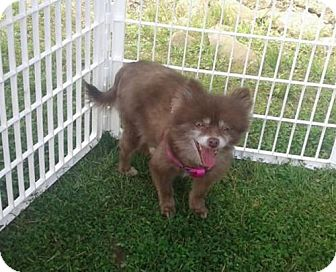 Pomeranian Dog for adoption in Smithfield, Pennsylvania - CHARLOTTE