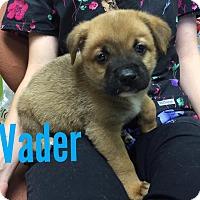 Adopt A Pet :: vader - Joplin, MO