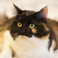 Adopt A Pet :: Coco (Trisha) - Cartersville, GA