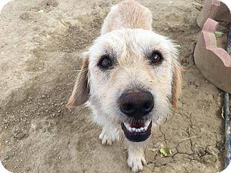 Terrier (Unknown Type, Medium) Mix Puppy for adoption in Rosamond, California - Otis