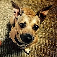 Jack Russell Terrier/Chihuahua Mix Dog for adoption in Los Angeles, California - Indy