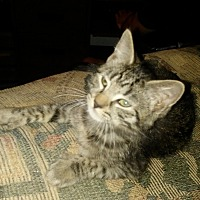 American Shorthair Kitten for adoption in Park Hills, Missouri - Kitty