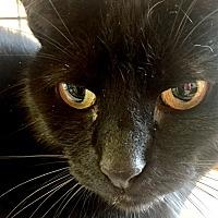 Adopt A Pet :: Midnight - Atlanta, GA