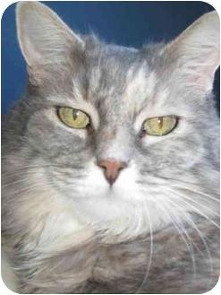 Domestic Longhair Cat for adoption in Las Vegas, Nevada - Juliet