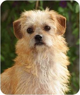 Cairn Terrier Mix Dog for adoption in El Segundo, California - Bianca