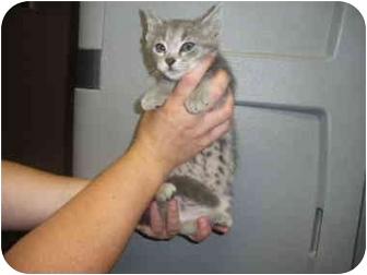 "Domestic Shorthair Kitten for adoption in MARION, Virginia - ""Spotty"""