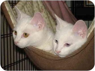 Domestic Shorthair Cat for adoption in Chesapeake, Virginia - Princess & Hobo