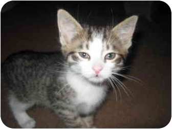 Domestic Shorthair Kitten for adoption in Plymouth, Massachusetts - Angelica (Rugrats Gang)
