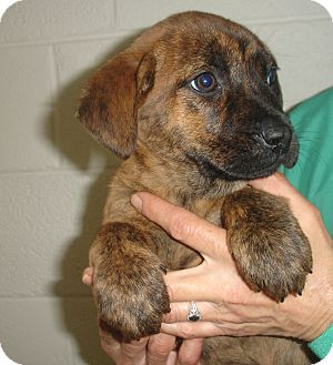 Shepherd (Unknown Type)/Boxer Mix Puppy for adoption in Old Bridge, New Jersey - Dee