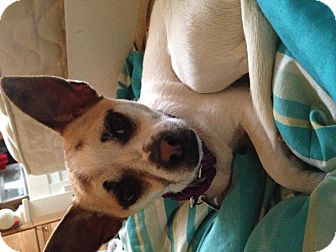 Chihuahua Mix Dog for adoption in Medford, New Jersey - Macadamia