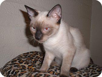 Siamese Cat for adoption in Scottsdale, Arizona - Duffy