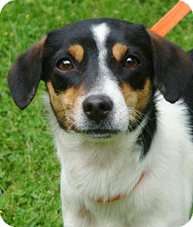 Jack Russell Terrier Mix Dog for adoption in Red Bluff, California - MAY