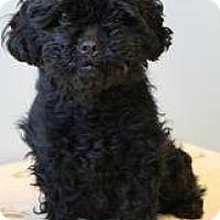 Adopt A Pet :: Sassafras - Shawnee Mission, KS