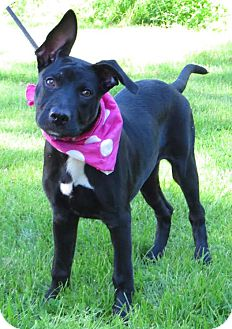 German Shepherd Dog/Labrador Retriever Mix Puppy for adoption in Middletown, New York - Dory