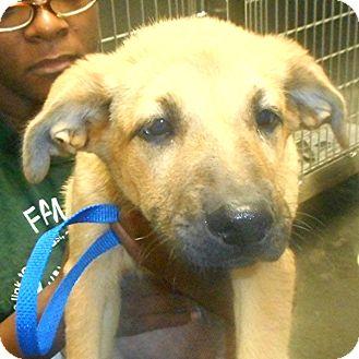 German Shepherd Dog Mix Puppy for adoption in Manassas, Virginia - Cagney