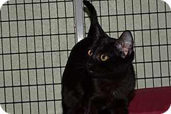 Domestic Shorthair Cat for adoption in Brooksville, Florida - April