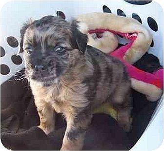Australian Shepherd/Bernese Mountain Dog Mix Puppy for adoption in Old Fort, North Carolina - Ruben