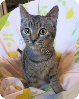 Domestic Shorthair Kitten for adoption in Geneseo, Illinois - Elsa