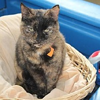 Domestic Shorthair Cat for adoption in Iroquois, Illinois - Meredith