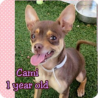 Chihuahua Mix Puppy for adoption in Barriere, British Columbia - Cami - ADOPTION PENDING