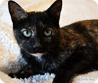 Domestic Shorthair Cat for adoption in East Hartford, Connecticut - Jada (in CT)