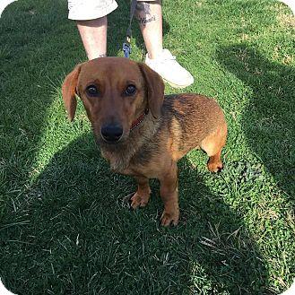Dachshund Mix Puppy for adoption in Coeburn, Virginia - Highway