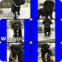 Adopt A Pet :: Cash - Byhalia, MS