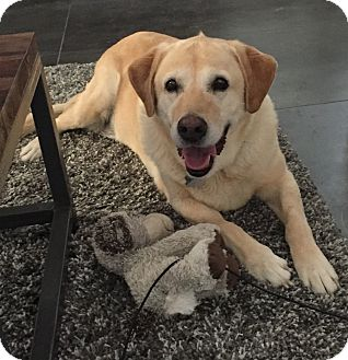 Labrador Retriever Dog for adoption in Phoenix, Arizona - Barley