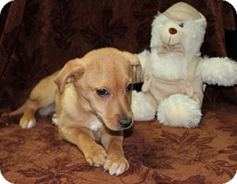 Chihuahua/Hound (Unknown Type) Mix Puppy for adoption in Newark, New Jersey - Angelina