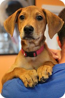 Hound (Unknown Type)/Beagle Mix Puppy for adoption in New Orleans, Louisiana - Michael