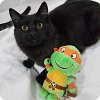 Adopt A Pet :: Michelangelo - Edmond, OK