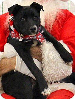 Border Collie/Terrier (Unknown Type, Medium) Mix Puppy for adoption in Bedford, Virginia - Jack Jack