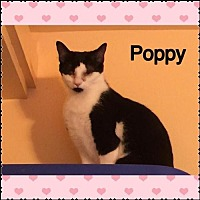 Adopt A Pet :: Poppy - Surprise, AZ