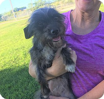 Terrier (Unknown Type, Small) Mix Dog for adoption in Vancouver, British Columbia - Shelby