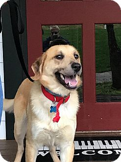 Labrador Retriever Dog for adoption in Rockville, Maryland - Danno