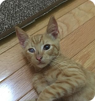 Domestic Shorthair Kitten for adoption in Mount Pleasant, South Carolina - Dylan