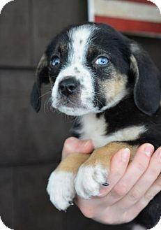 Mountain Cur/Dalmatian Mix Puppy for adoption in Danbury, Connecticut - June