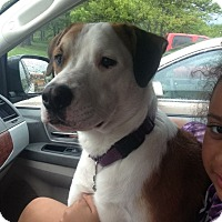 Labrador Retriever/American Bulldog Mix Dog for adoption in Bloomington, Indiana - Bentley