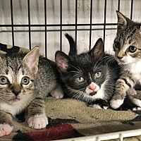 Adopt A Pet :: Kittens Sour Cream, Onion, Garnet, and Amethyst - Brooklyn, NY