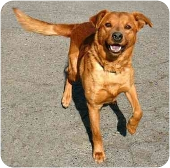 Retriever (Unknown Type) Mix Dog for adoption in Phoenix, Oregon - Gus