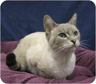 Siamese Cat for adoption in Sacramento, California - Bella