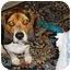 Photo 3 - Beagle Dog for adoption in Seneca, South Carolina - MASON