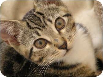 Domestic Shorthair Kitten for adoption in Houston, Texas - Maribel