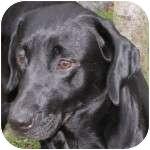 Labrador Retriever Mix Dog for adoption in Eatontown, New Jersey - Ms. Floppy