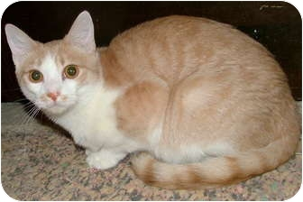 Domestic Shorthair Cat for adoption in Chattanooga, Tennessee - Fawn