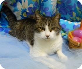 Domestic Shorthair Cat for adoption in Columbus, Nebraska - Freemon
