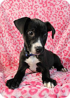 Labrador Retriever/Boxer Mix Puppy for adoption in Westminster, Colorado - Vincenzo