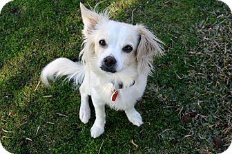 Papillon/Spaniel (Unknown Type) Mix Dog for adoption in Bellflower, California - Uma-I'm an easy dog!