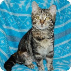 Domestic Shorthair Kitten for adoption in Bradenton, Florida - Aurora